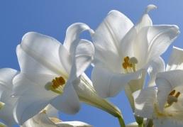 bermuda-easter-lilies-stock